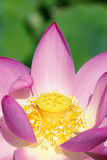 Lotus heart. The close-up of heart of lotus flower Royalty Free Stock Images