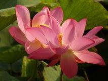 Lotus is heilig en elegant Royalty-vrije Stock Fotografie