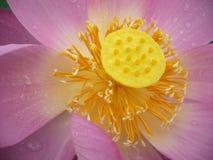 Lotus is heilig en elegant Royalty-vrije Stock Afbeelding