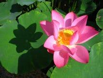 Lotus is heilig en elegant Stock Afbeeldingen