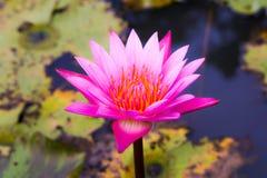 Lotus hermoso en la charca Fotografía de archivo libre de regalías