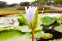 Lotus hermoso en la charca Imagenes de archivo