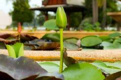 Lotus hermoso en la charca Imagen de archivo
