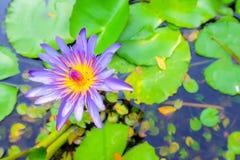 Lotus-het bloeien Royalty-vrije Stock Afbeeldingen