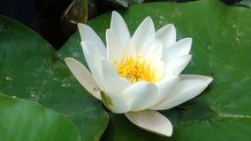 Lotus in het meer stock afbeelding