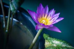 Lotus-het moring Royalty-vrije Stock Afbeeldingen