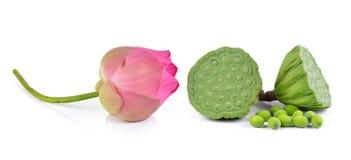 Lotus-het zaad en de roze lotusbloem isoleren witte achtergrond stock afbeeldingen