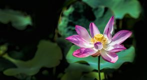 Lotus Flower. LoTus at Ho Chi Minh , Viet Nam Royalty Free Stock Photos