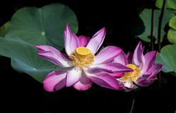 Lotus Flower. LoTus at Ho Chi Minh , Viet Nam Stock Photo