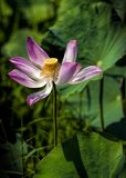 Lotus Flower. LoTus at Ho Chi Minh  ,  Viet Nam Stock Image