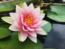 Lotus hoje Imagens de Stock