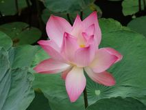 Flower of lotus. Lotus - the holy flower of buddhism royalty free stock photos