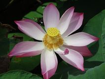 Flower of lotus. Lotus - the holy flower of buddhism stock photos