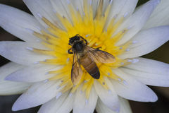 Lotus and Honey Bee Royalty Free Stock Photography