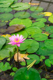 Lotus in hot Spring water boiling Royalty Free Stock Photography