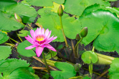 Lotus in hot Spring water boiling Royalty Free Stock Photos