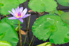 Lotus in hot Spring water boiling Royalty Free Stock Photo