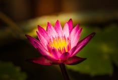 Lotus humide dans le léger et foncé Image stock
