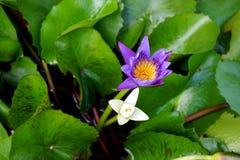 Lotus i bunke Arkivbild