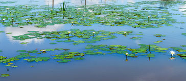 Lotus i dammet Arkivbild