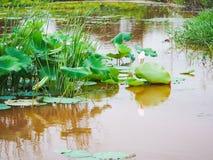 Lotus i dammet Fotografering för Bildbyråer