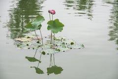 Lotus i dammet i den forntida staden för luodai, porslin arkivfoto