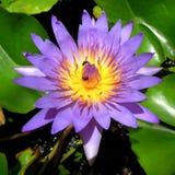 Lotus i dammet på trädgården royaltyfria bilder