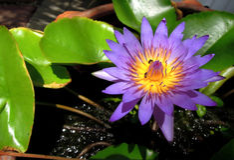 Lotus i dammet på trädgården arkivbild