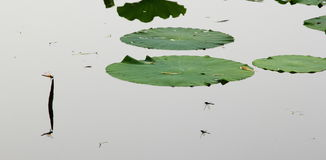 Lotus i dragonfly Obraz Royalty Free
