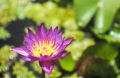 Lotus i en krus Arkivfoto