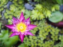 Lotus i en krus Royaltyfria Foton