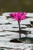 Lotus i liście w ranku Fotografia Royalty Free