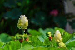 Lotus i lotosów ziarna Obrazy Royalty Free