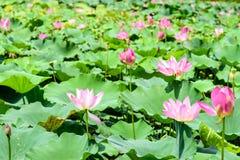 Lotus i lotosowy liść Fotografia Royalty Free