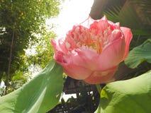 Lotus i morgonen Arkivfoton