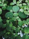 Lotus i morgonen Arkivbild