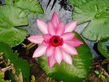 Lotus i naturträsk, tappningstil Fotografering för Bildbyråer