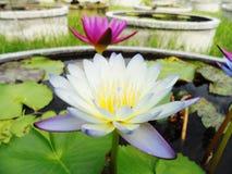 Lotus i naturträsk, tappningstil Royaltyfri Fotografi