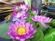 Lotus i naturträsk, tappningstil Arkivbilder