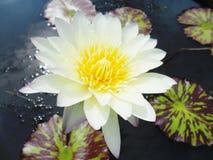 Lotus i naturträsk, tappningstil Royaltyfria Bilder