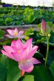 Lotus i pöl Fotografering för Bildbyråer