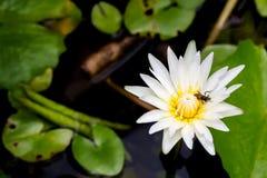 Lotus i pszczoła w basenie Zdjęcia Stock