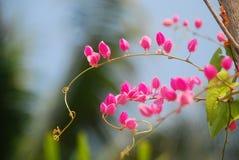 Lotus i Thailand Arkivfoto
