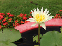 Lotus i Thailand Arkivbild