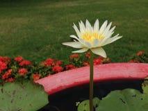 Lotus i Thailand Royaltyfri Bild