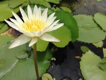 Lotus i Thailand Arkivfoton