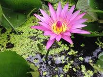 Lotus i Thailand Arkivbilder