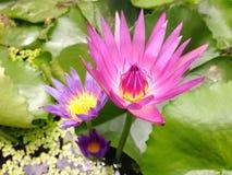 Lotus i Thailand Fotografering för Bildbyråer