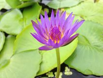 Lotus i Thailand Royaltyfria Foton