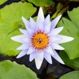 Lotus i trädgård Royaltyfria Foton